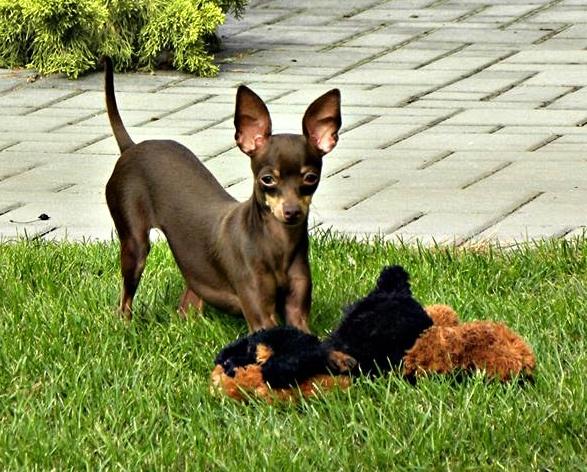 Xacorka Proper Puppy